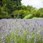 4 popping purple lavender farms and fields to visit near london