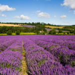 10 secret lavender fields that should be on your uk summer bucket list